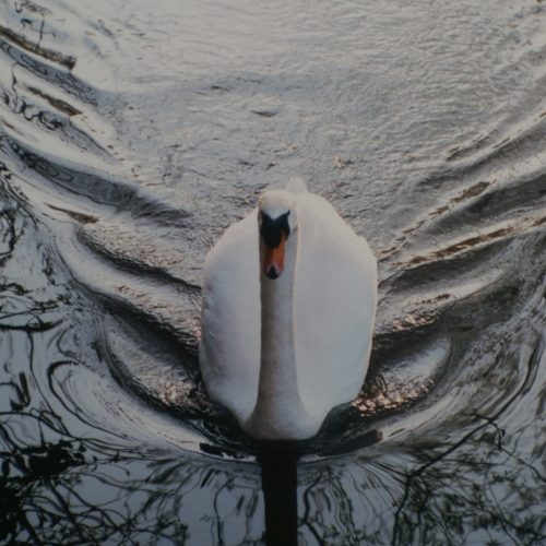 Swan © Robert Davidson Photography